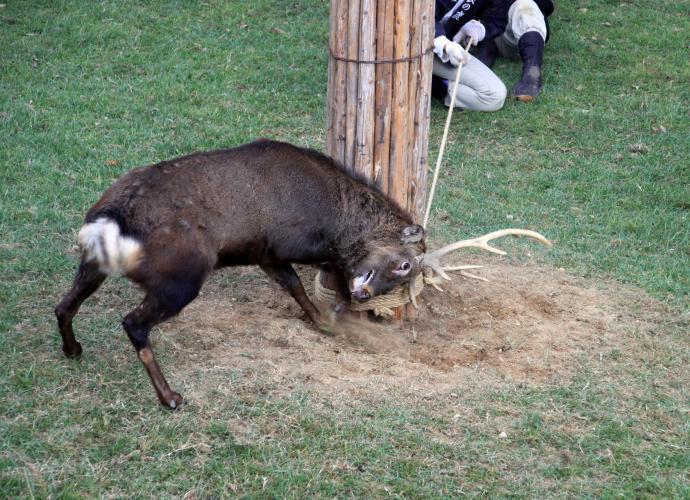 切鹿角儀式(奈良公園鹿苑)