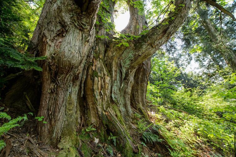 OBU山的大杉