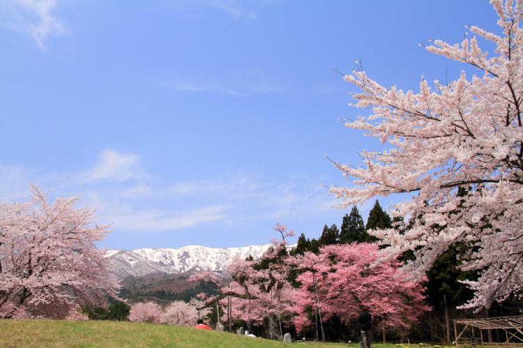 釜之越農村公園的櫻花