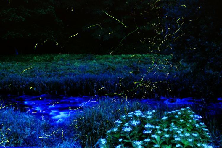 小野川溫泉螢火蟲祭