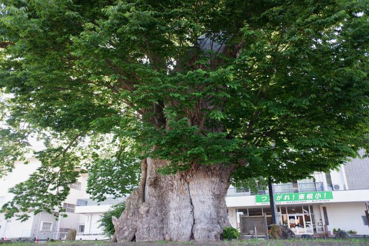 東根的大櫸樹