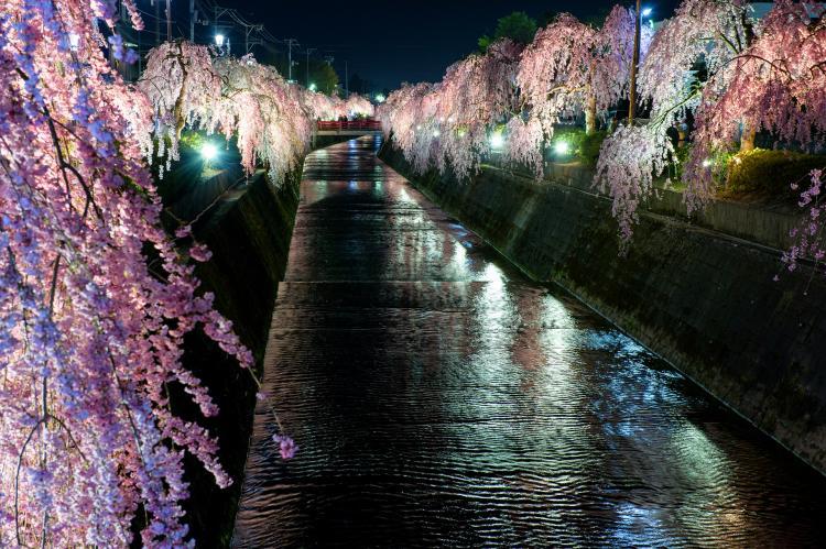倉津川之櫻