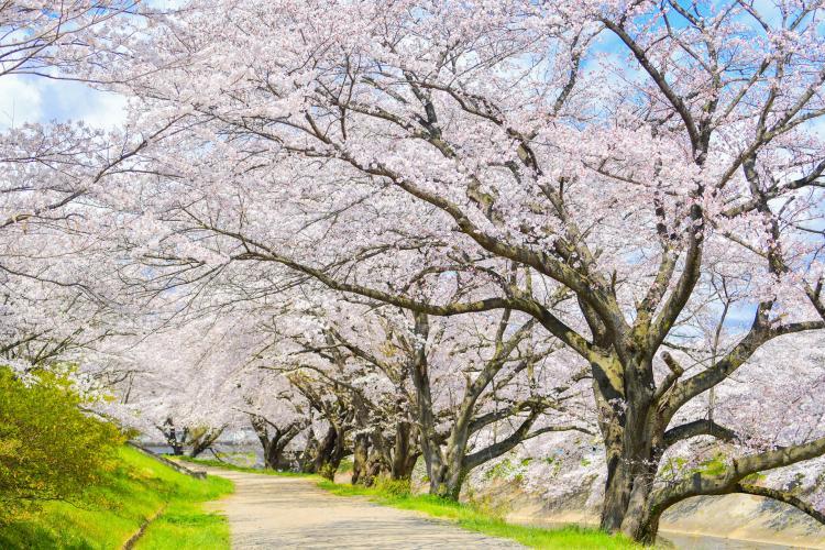藤田川之櫻