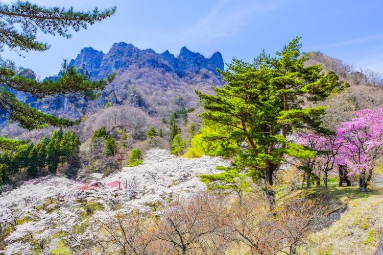 縣立森林公園 妙義山櫻花之里