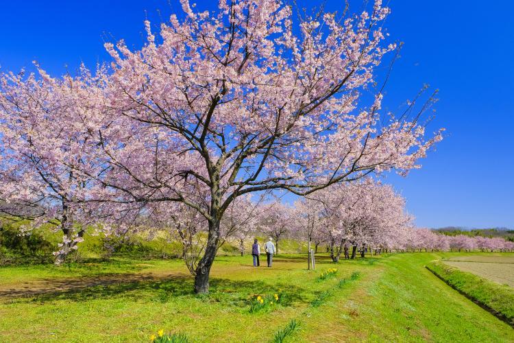 北淺羽櫻堤公園