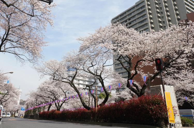 播磨坂的櫻花道