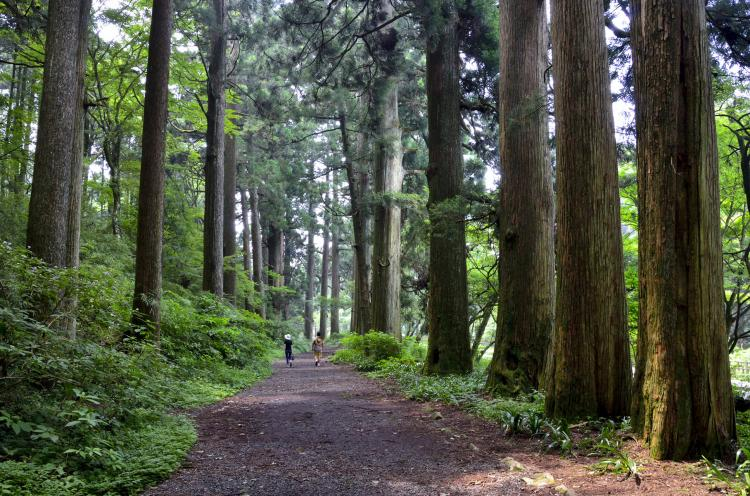 箱根舊街道杉並木
