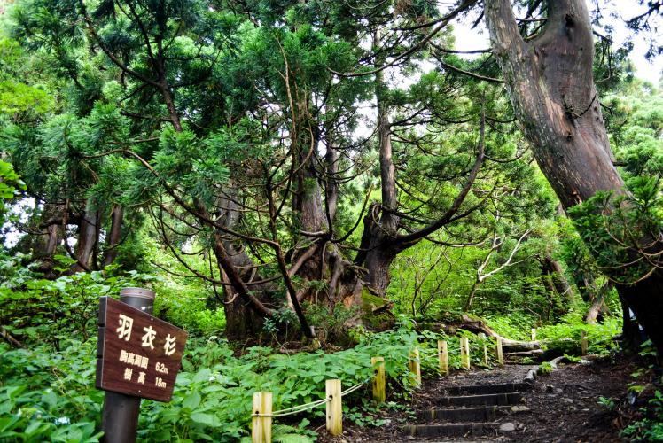 石名天然杉(佐渡島)