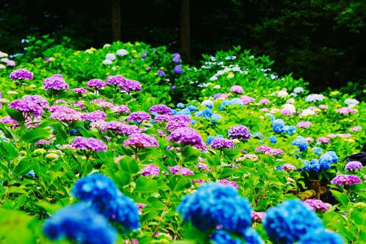 護摩堂山紫陽花園