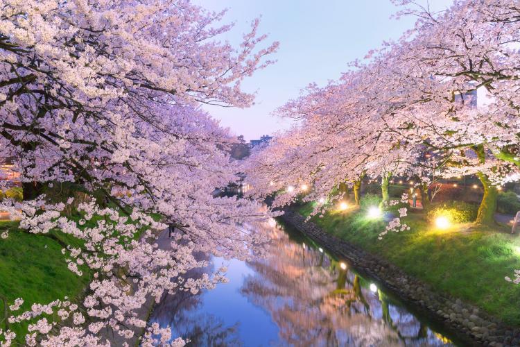 松川的櫻花