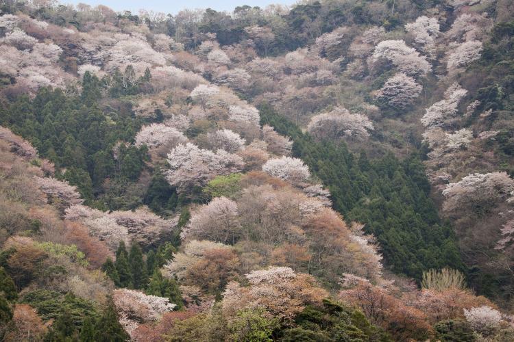 神子之山櫻(常神半島)