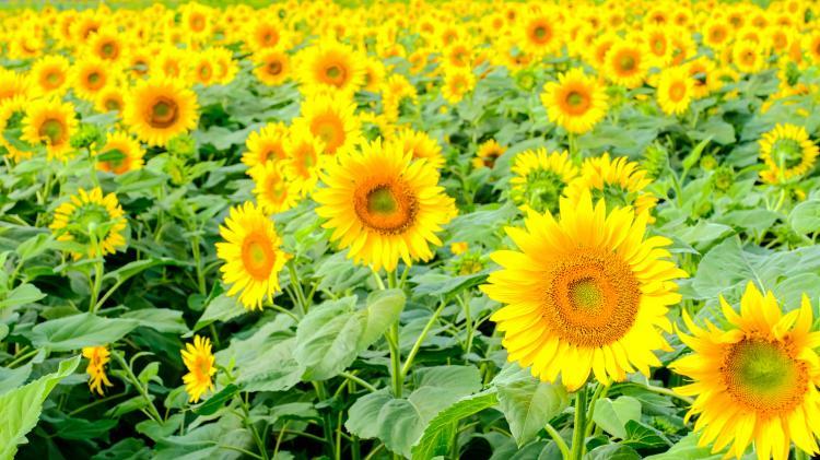 明野向日葵畑