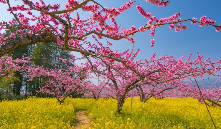 御坂町的桃花