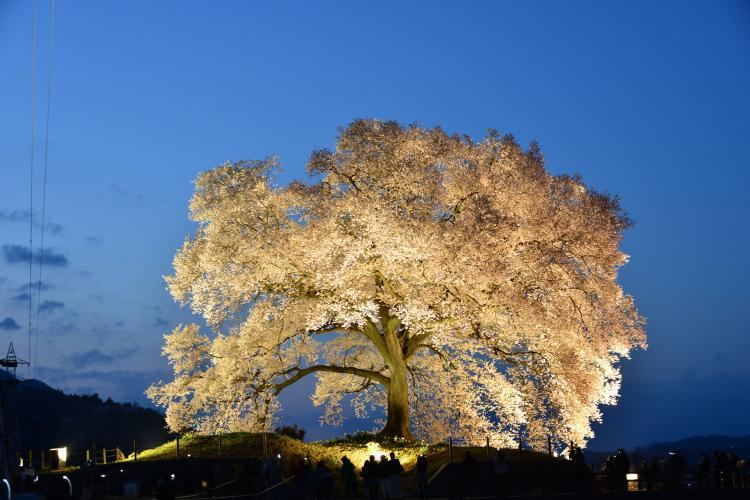 王仁塚的櫻花