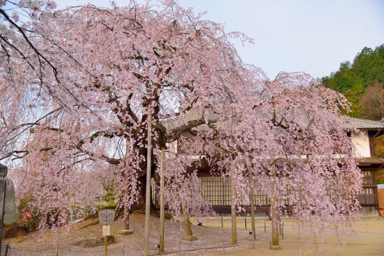 麻績之里舞台的櫻花
