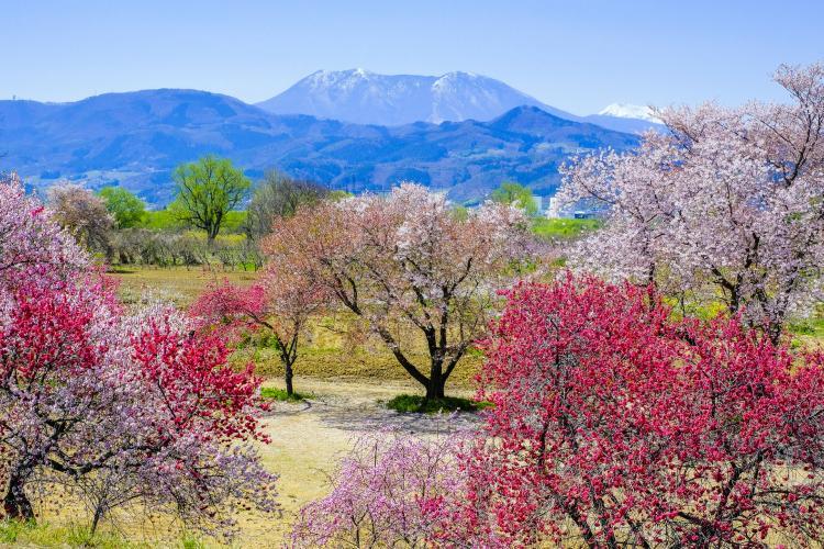 千曲川河岸的桃花