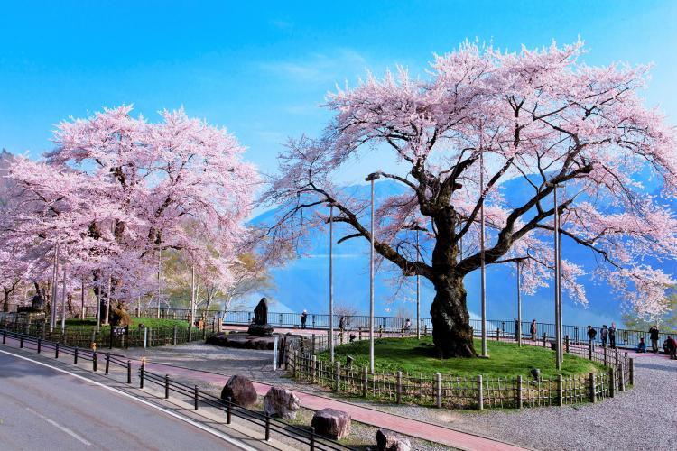 莊川櫻(御母衣湖)