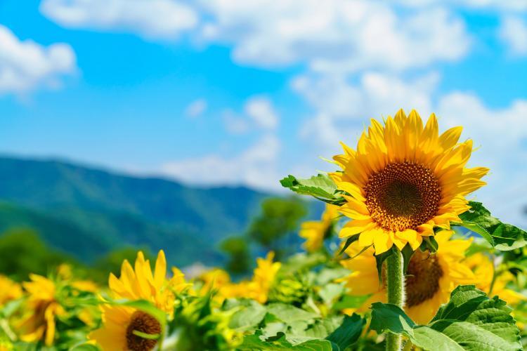 HONOKI平 天空的向日葵園