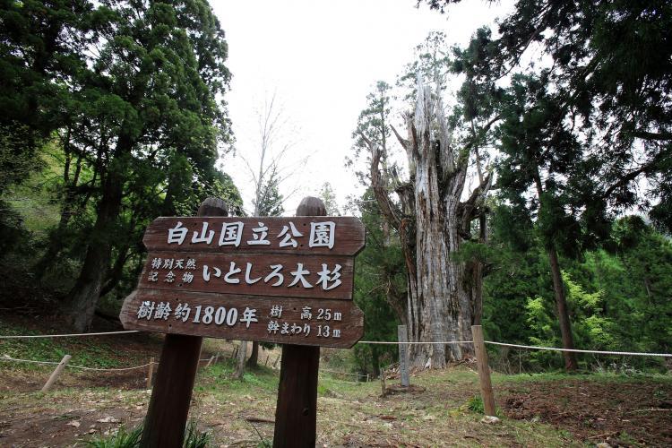 石徹白的大杉樹