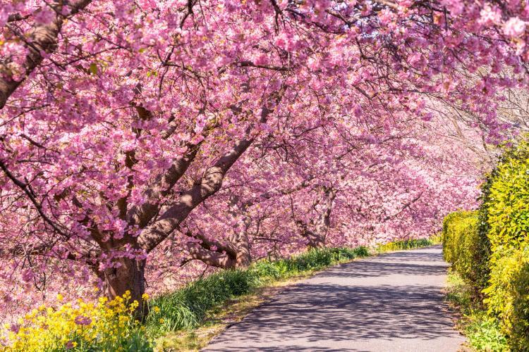 河津櫻櫻花步道