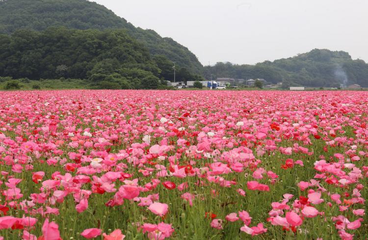 笠岡灣農場的花田