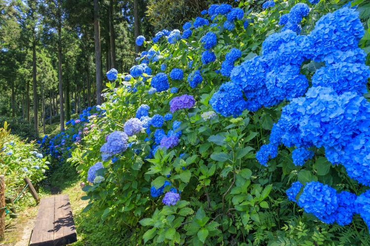 東雲之里 紫陽花園