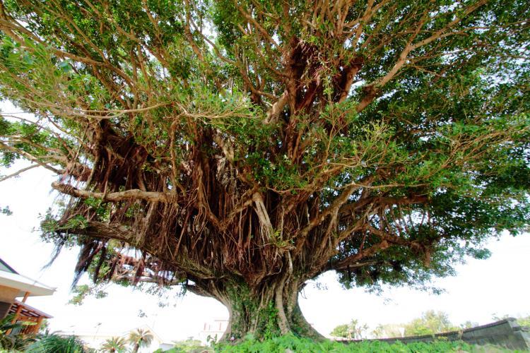 手久津久的巨大榕樹